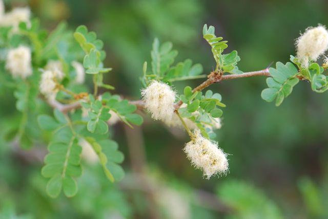 texas-ebony-flowers