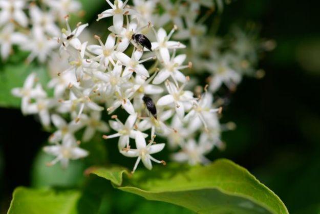 tumbling-flower-beetles-22