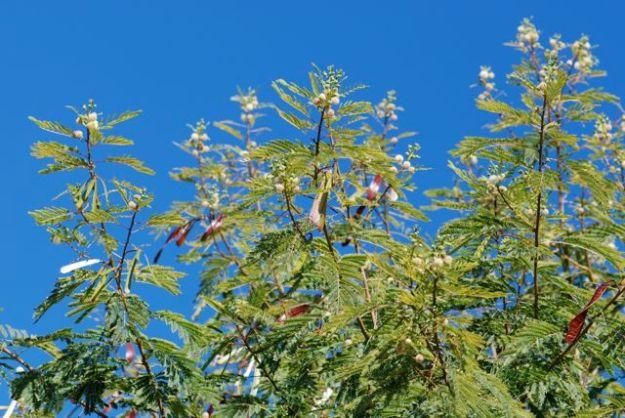 Leucaena leucocephala-earlier