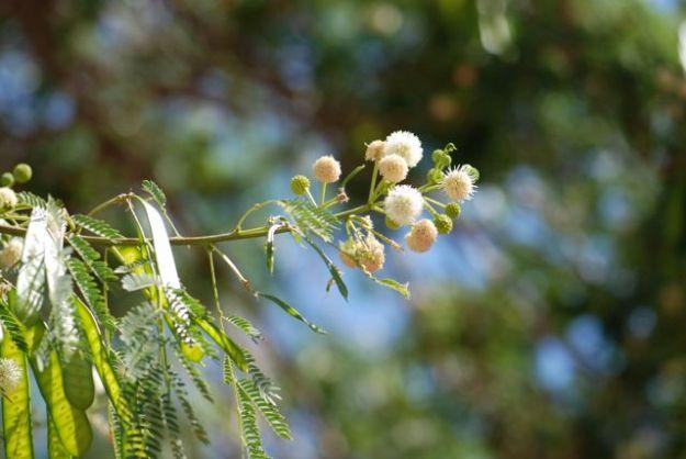 Leucaena leucocephala -flowers