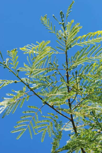 Leucaena leucocephala-ggg