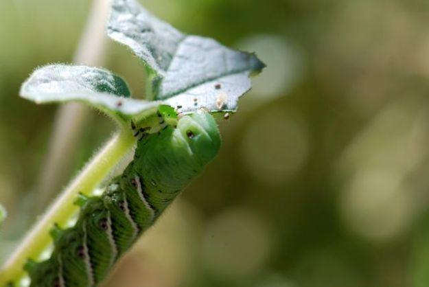 hornworm-green-head