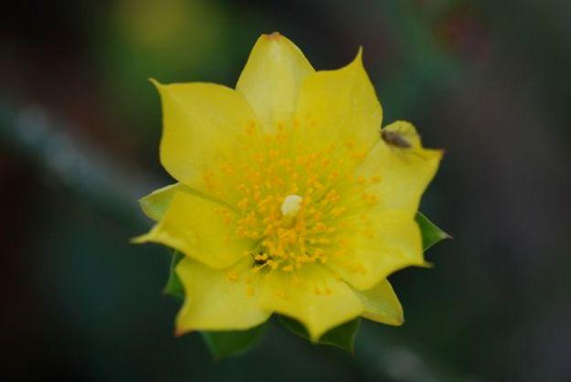pereskiopsis-flower