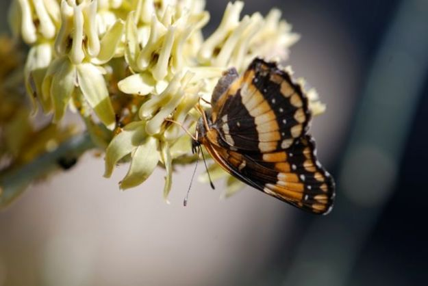 california-patch-butterfly-close-up