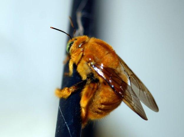 male-carpenter-bee-100