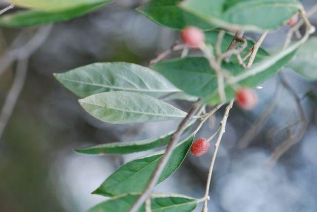 autumn-olive-underside-leaves