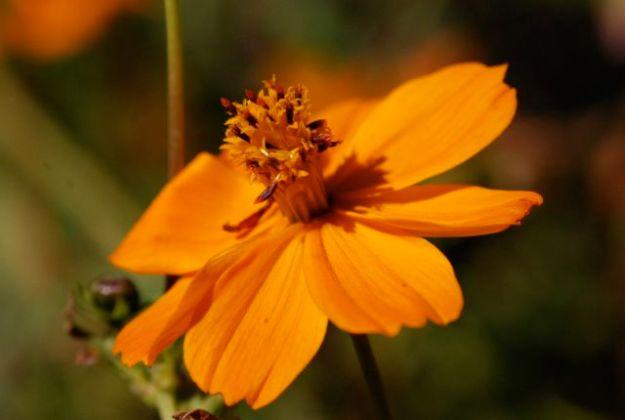 yellow-or-orange-cosmos