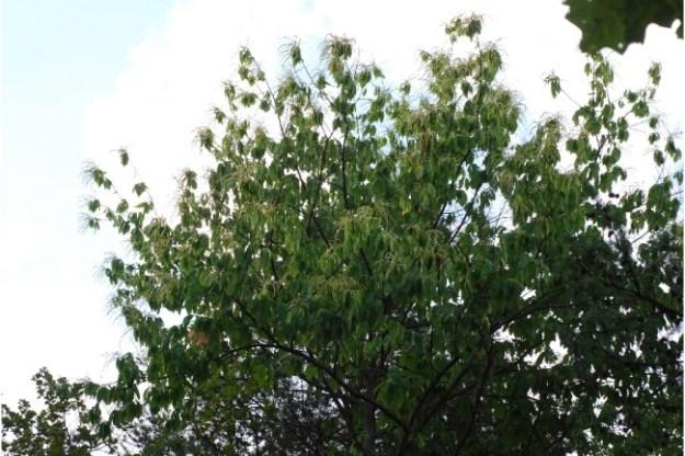 american-chestnut-tree