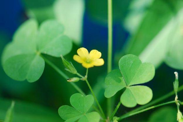 yellow-wood-sorrel-pod-leaf-flower