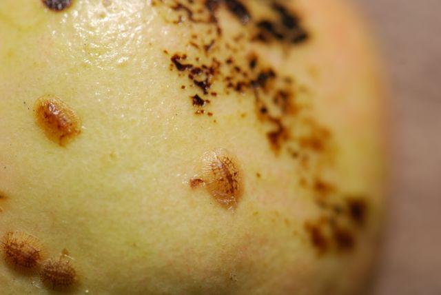 brown-scale-pomegranate-12