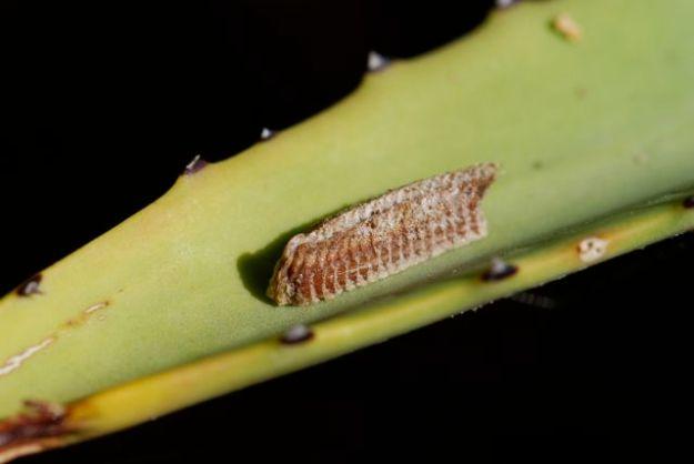 praying-mantis-egg-case-12