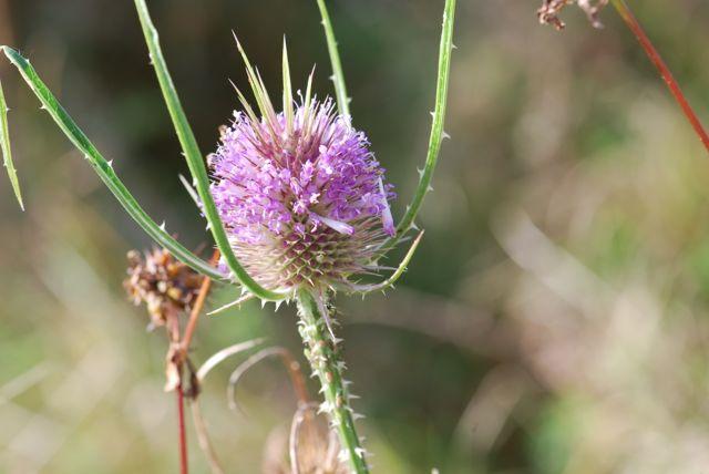 teasel-flower-1