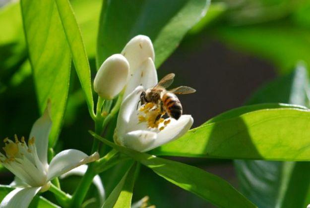 honeybee 7