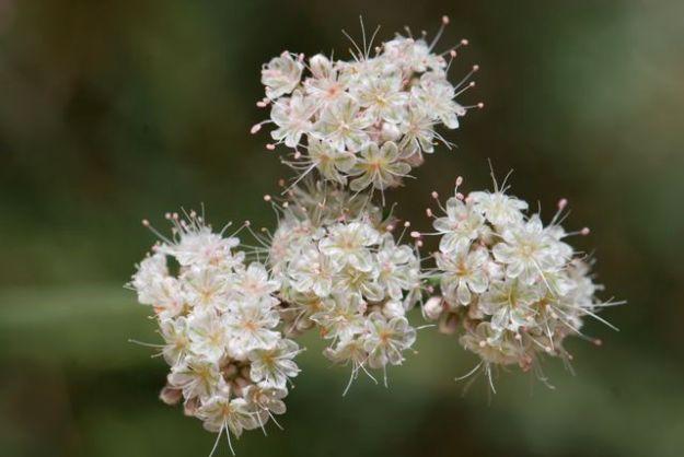 another-flat-top-buckwheat