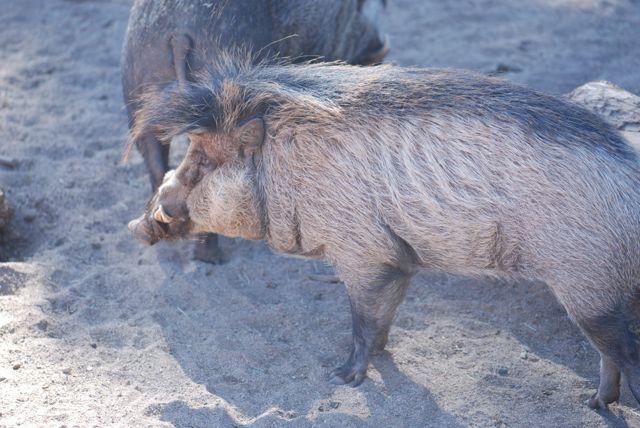 zoo-visayan-warty-pig
