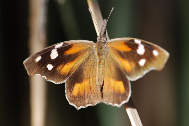 mystery-butterfly-2-identication