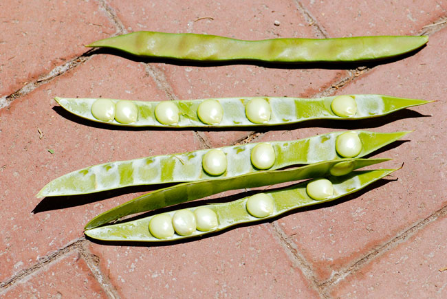 mystery-seed-pods-246