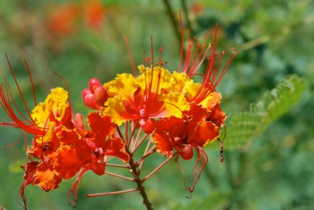 red-bird-of-paradise-228