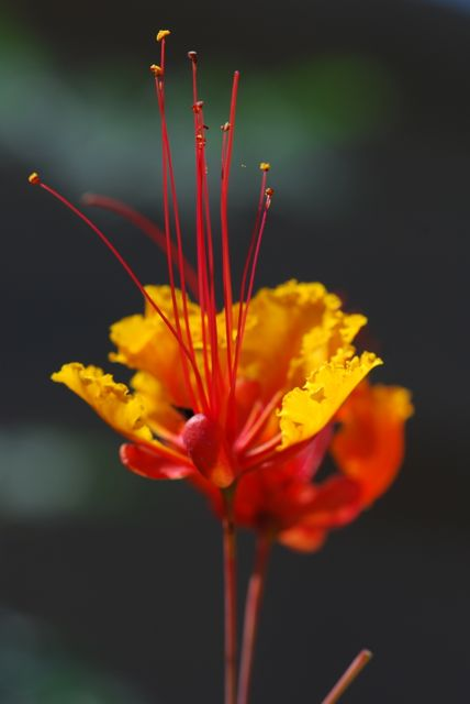 red-bird-of-paradise239