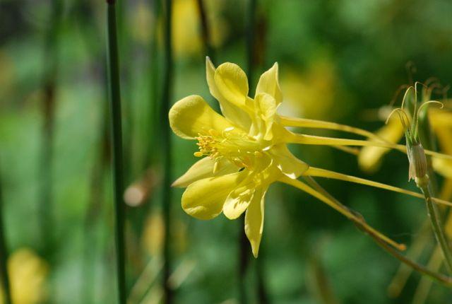 very-nice-yellow-columbine0218