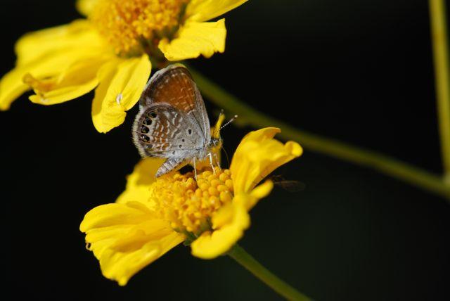 western-pygmy-blue-butterfly