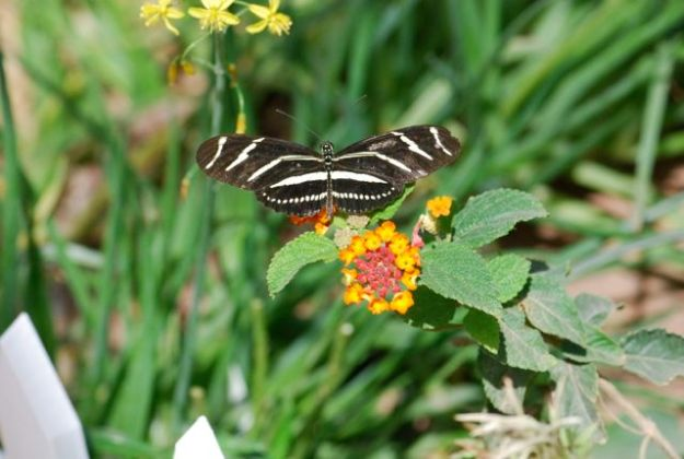zebra-butterly