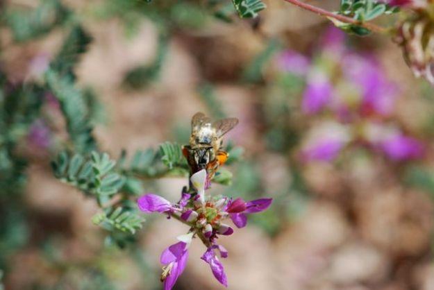 bee-on-dalea-face-on-shot-064