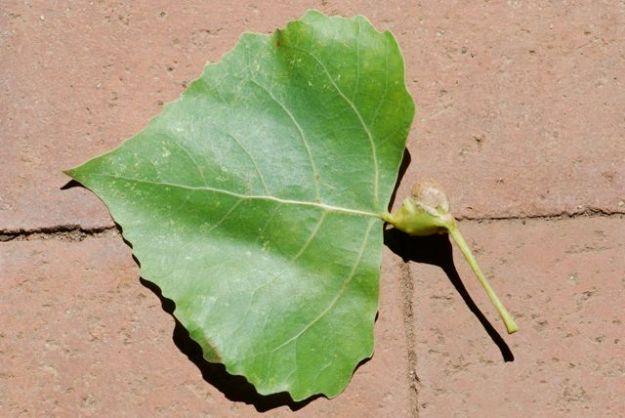 cottonwood-petiole-gall-055