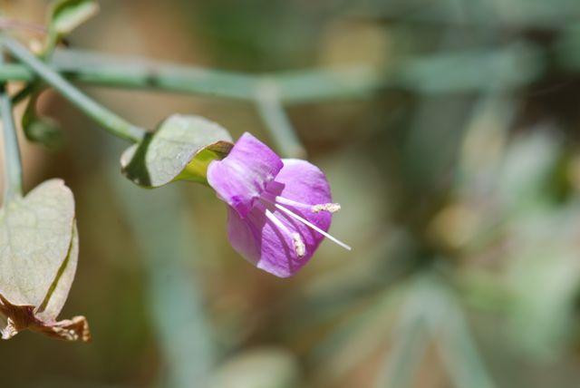 Dicliptera-flower-055