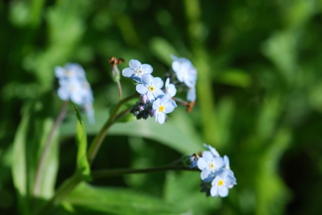 forget-me-nots-muir-90