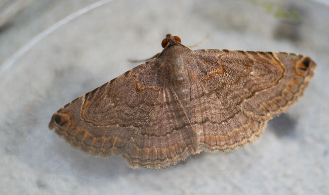 geometrid-moth-example