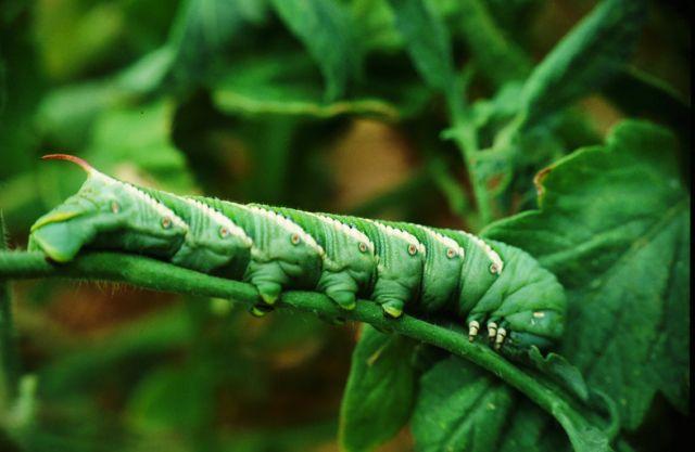 hornworm-caterpillar-0051