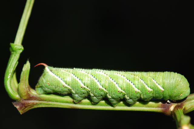 manduca-larva-large