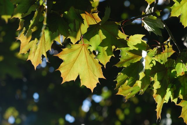 red-maple-leaves-465