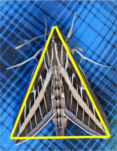 triangle-sphinx-moth