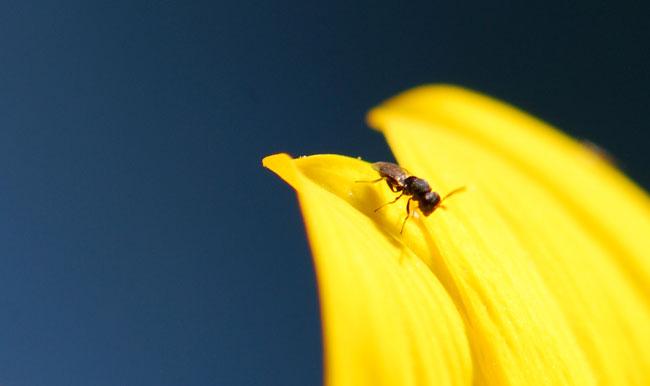 wasp-on-sunflower-petal-40