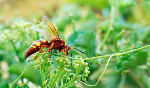 cicada-killer-wasp-024