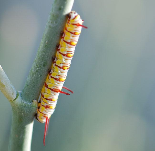 queen-caterpillar-small