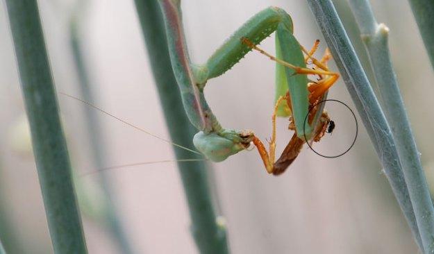 mantis-fly