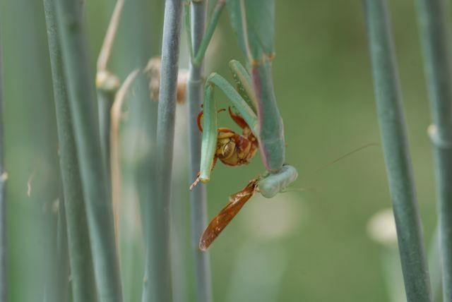 praying-mantis-removing-wasp-wing-0348