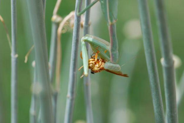 praying-mantis-wasp-fly-cool334