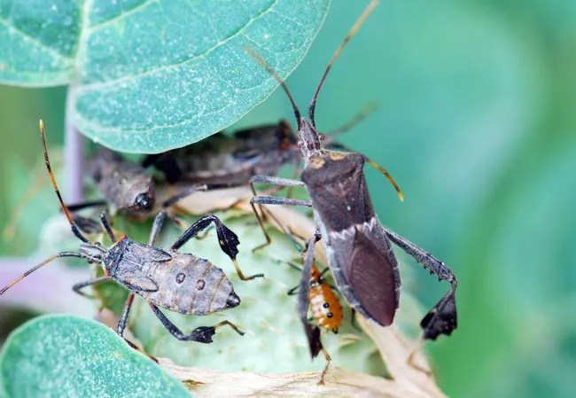 leaf-footed-bugs-on-datura-271