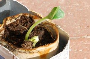 seedling-in-paper-pot