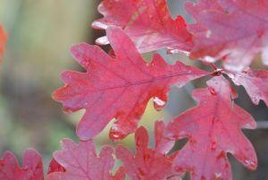 oak-leaves-166