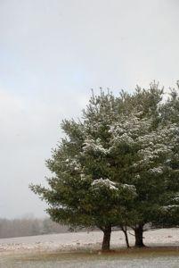 white-pine-0083