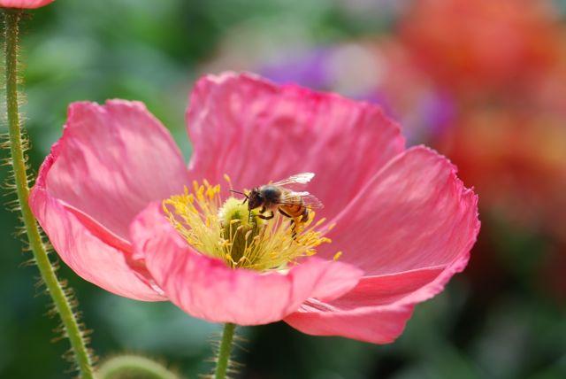 honey-bee-in-poppy-ever