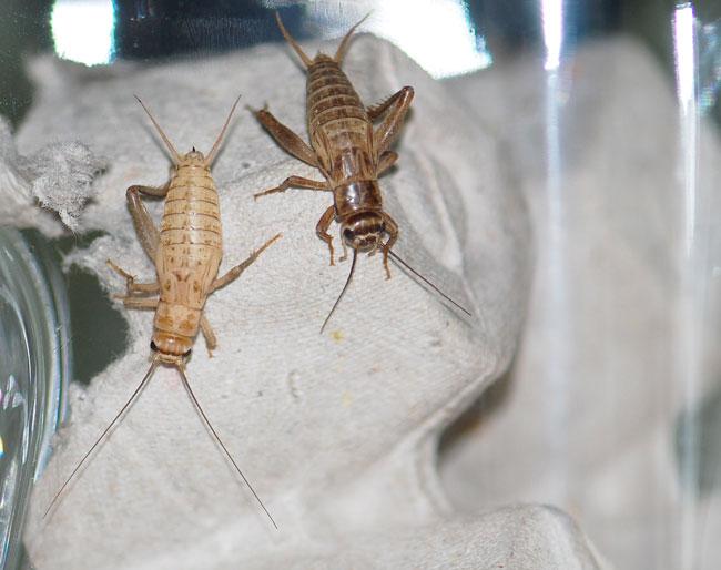 crickets-in-condo