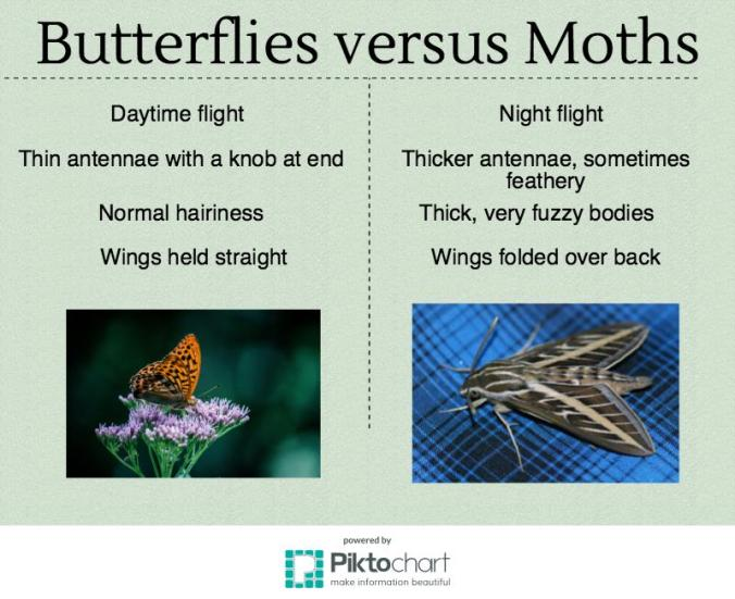 butterfly-vs-moth-infographic2