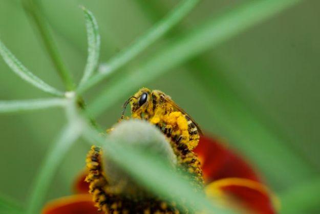 pollen-coated-bee_0323