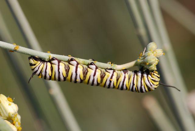 monarch-caterpillar-233